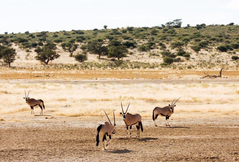 Het weiden vier Gemsbuck in de Kalahari stock foto