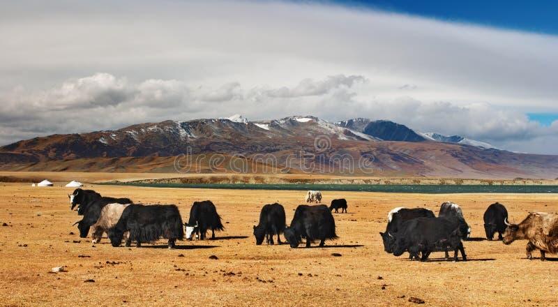 Het weiden yaks stock afbeelding