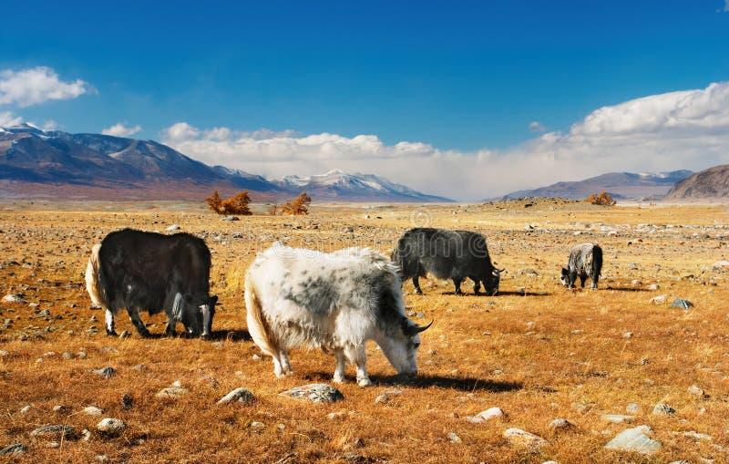 Het weiden yaks royalty-vrije stock afbeeldingen