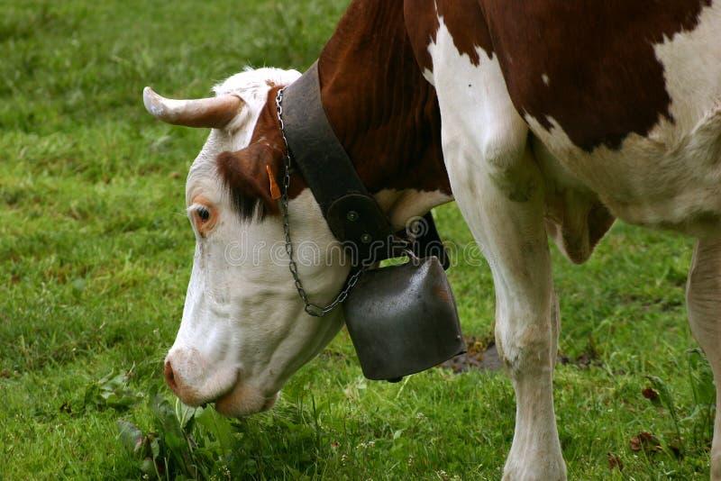 Het weidende hoofd van de koe met een klok stock fotografie