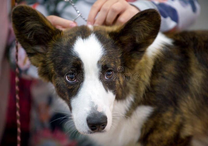 Het Welse Corgi-close-up van het hondportret stock foto's