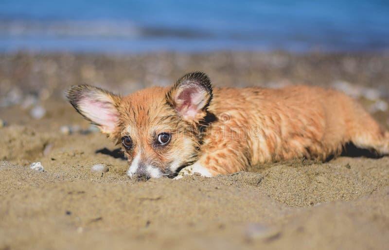 Het Welse corgi pembroke puppy spelen in het zand op het strand royalty-vrije stock afbeeldingen