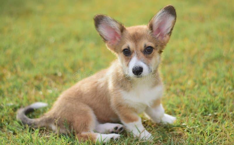 Het Welse portret van het corgi pembroke puppy stock foto