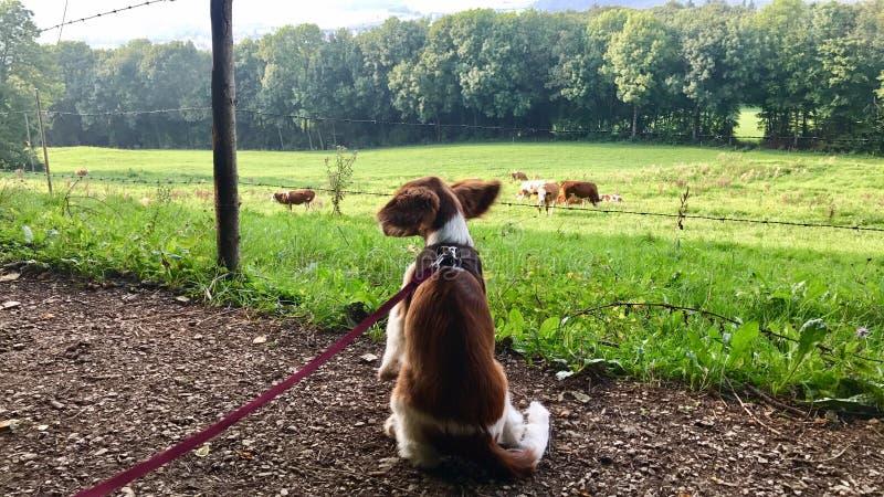Het Welse puppy van het Aanzetsteenspaniel op de leiband stock foto's