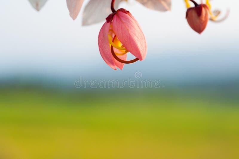 Het wensen van Boom, Roze Showe, Cassia Bakeriana Craib stock fotografie