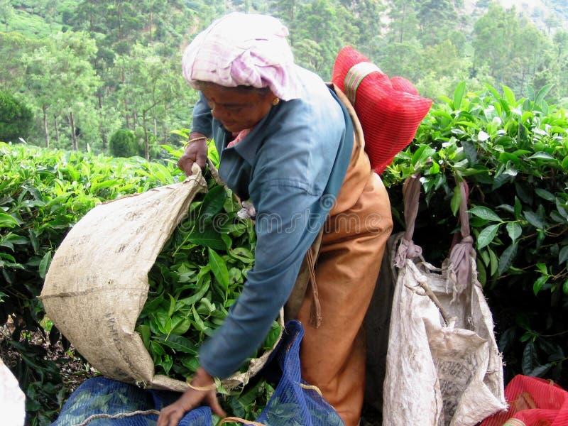 Het werken bij theeaanplanting stock afbeelding