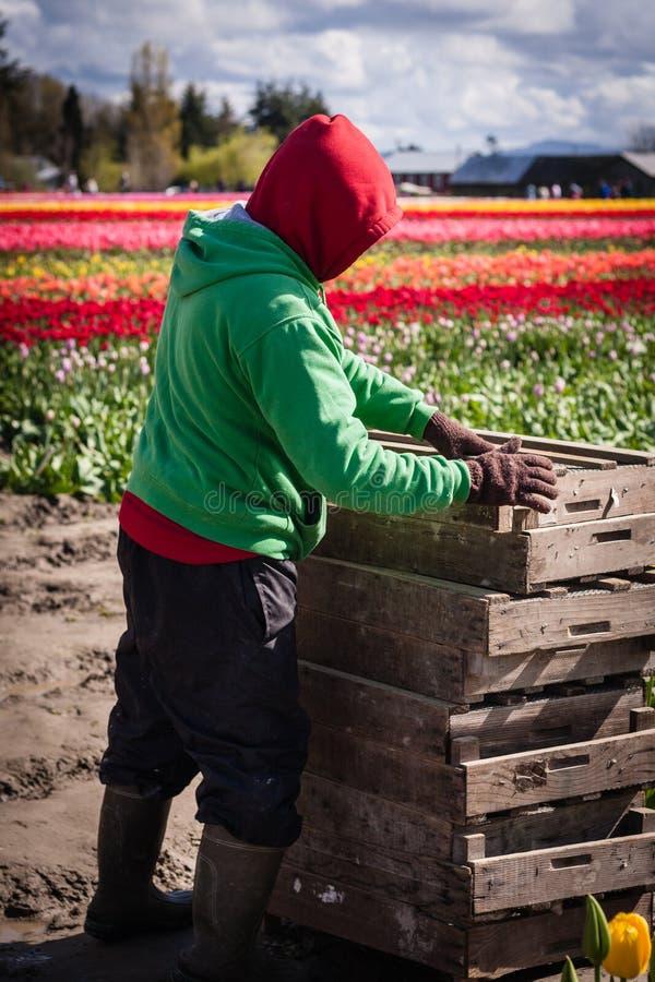 Het werken op de tulpengebieden stock afbeelding