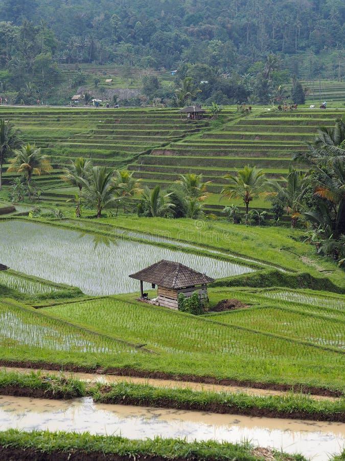 Het werpen zich mening over een padieveldterras in Bali stock foto's