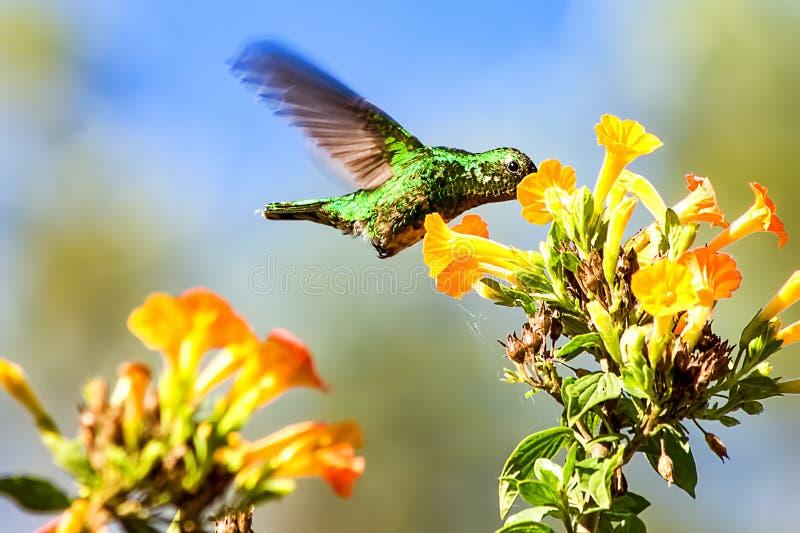 Het westelijke smaragdgroene kolibrie voeden op bloemen royalty-vrije stock foto