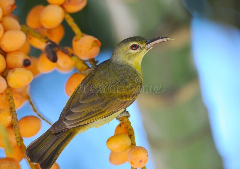 Het wijfje bruin-Throated Sunbird royalty-vrije stock afbeeldingen