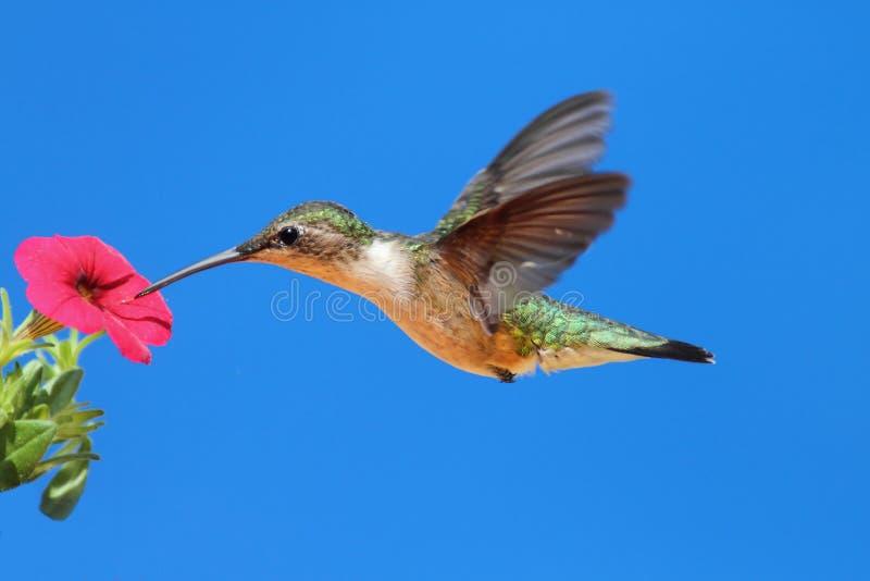 Het wijfje robijnrood-Throated Kolibrie (archilochus) stock fotografie