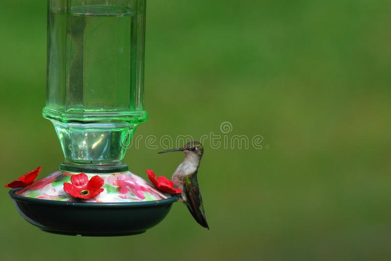 Het wijfje robijnrood-throated kolibriezitting op decoratieve voeder royalty-vrije stock foto
