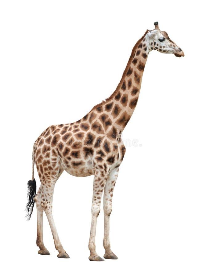 Het wijfje van de giraf op wit royalty-vrije stock foto's