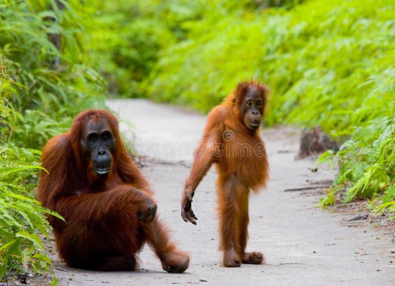 Het wijfje van de orangoetan met een baby op een voetpad Grappig stel indonesië stock fotografie