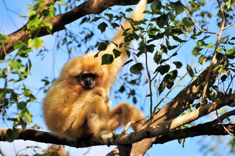 Het wijfje wit-cheeked Gibbon-aap stock afbeelding