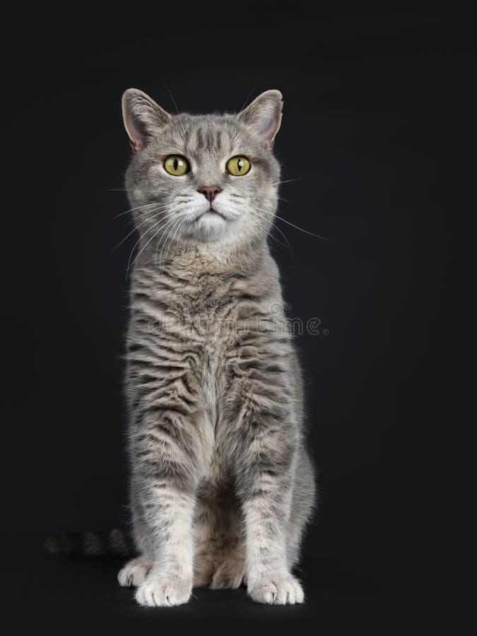 Het wijze kijken hogere Britse die Shorthair-kat, op zwarte achtergrond wordt geïsoleerd stock foto