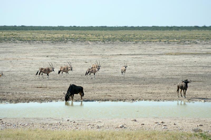 Het wild bij waterhole royalty-vrije stock fotografie