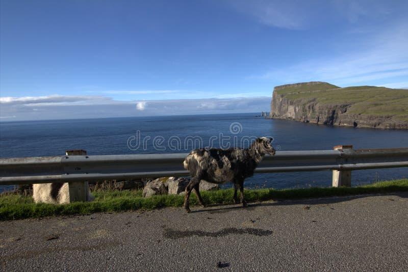 Het wild in de Faeröer royalty-vrije stock foto's