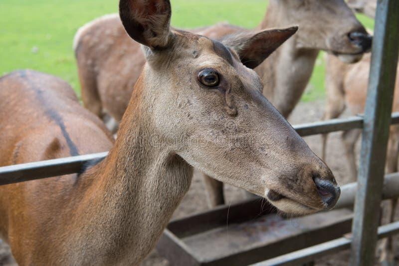 Het wild is de grootste schat van de moederaard De vrouwelijke species van damhindereeën Europese of westelijke herten in troep W stock fotografie