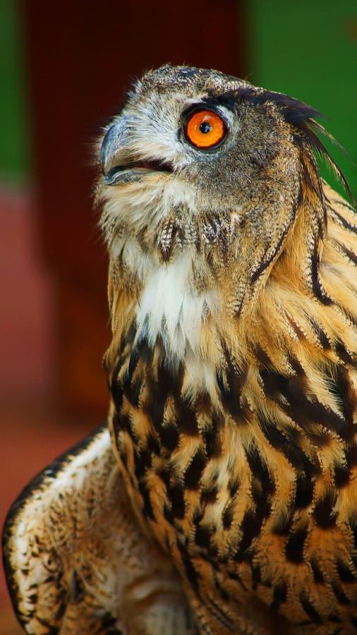 Het wild: Europees-Aziatische Eagle-uil in verbazing stock afbeeldingen