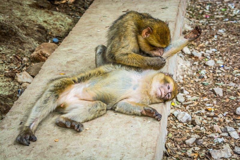 Het wild macaques apen in Marokkaans cederbos dichtbij Azrou, Marokko stock afbeelding