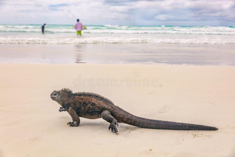 Het wild mariene leguaan die van de Galapagos op Tortuga-het eiland van Santa Cruz van het Baaistrand lopen royalty-vrije stock fotografie