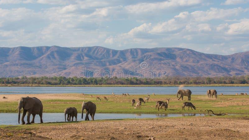 Het wild op de Zambezi rivier stock foto