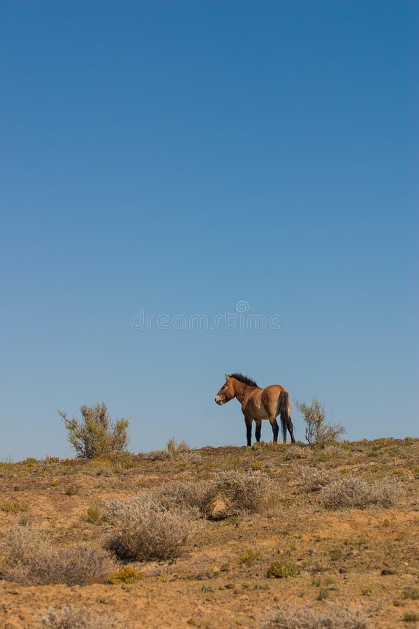 Het wild paard van ferusprzewalskii van Equus royalty-vrije stock fotografie