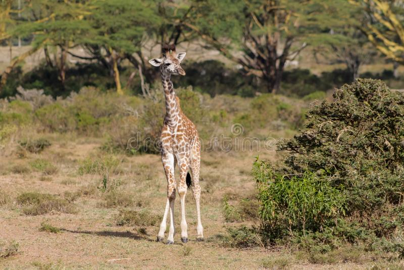 Het wild van Afrika, babygiraf in savanne stock foto