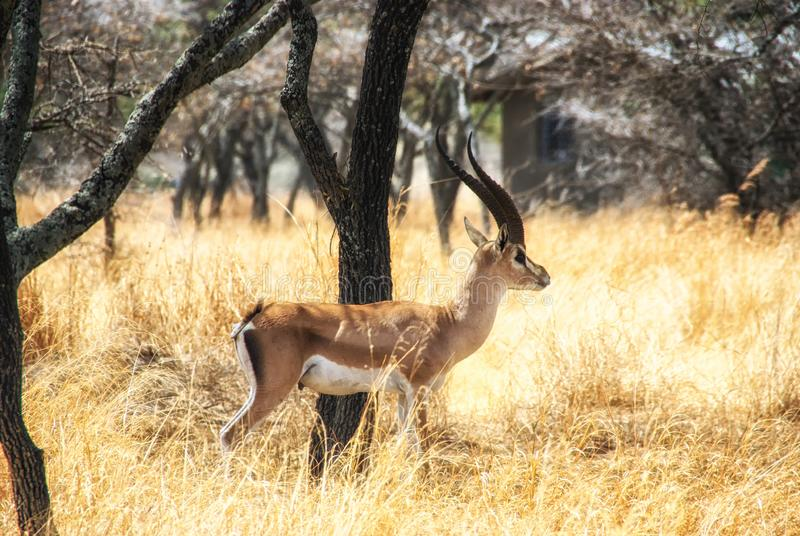 Het wild van Ethiopië, Impala royalty-vrije stock afbeelding