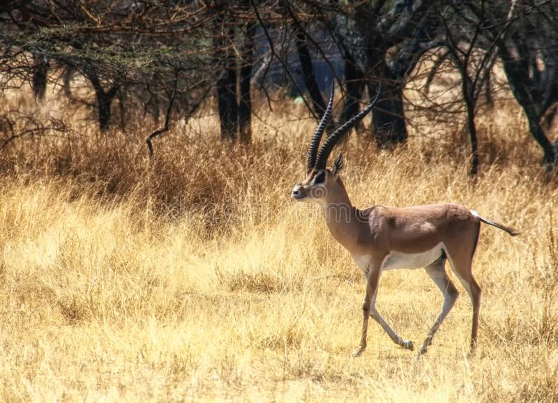Het wild van Ethiopië, Impala royalty-vrije stock fotografie