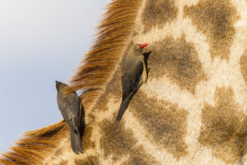 Het Wild van girafvogels stock fotografie