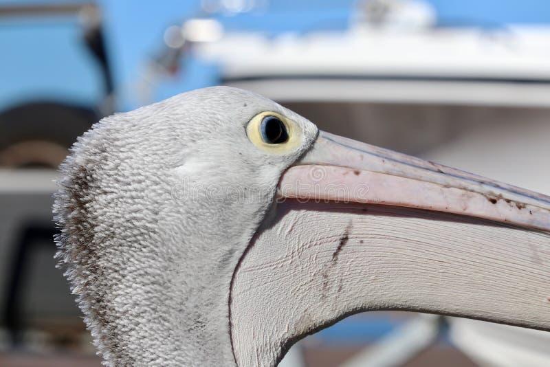 Het wilde Australische hoofdprofiel van de pelikaanclose-up royalty-vrije stock afbeelding