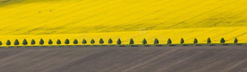 Het wilde bloeien van raapzaad op een landbouwbedrijfgebied in Polen stock afbeeldingen