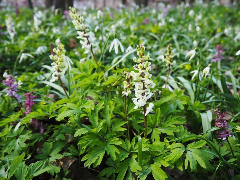 Het wilde bloemendietapijt van bolvormige witte fumewort cava Corydalis en sneeuwklokje wordt gemaakt bloeit Galanthus-nivalis bl royalty-vrije stock afbeelding