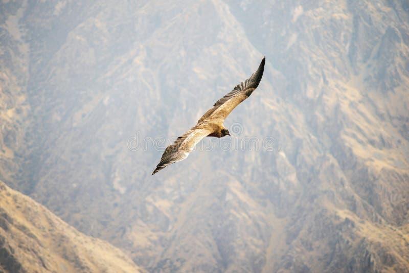 Het wilde condor vliegen stock foto
