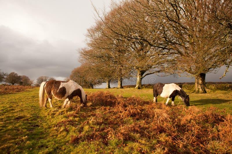 Het wilde Dartmoor-nationale park van poneysdartmoor, Devon, het UK royalty-vrije stock fotografie