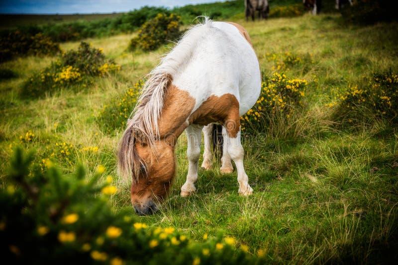 Het wilde Dartmoor-poney weiden op gras royalty-vrije stock foto's