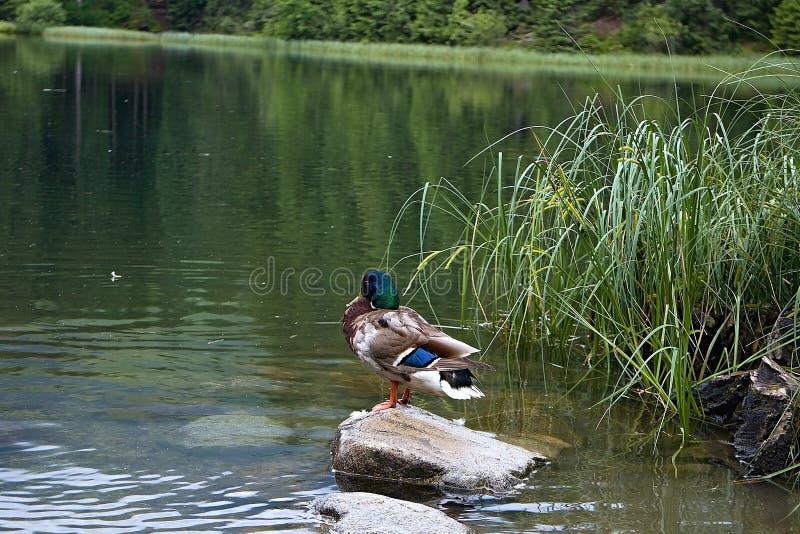 Het wilde eendverblijf vreedzaam op de rots en wacht geduldig op zijn kans om een vis te vangen royalty-vrije stock foto's