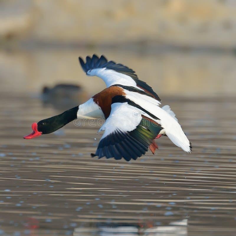 Download Het Wilde Gans Vliegen (tadornatadorna) Stock Foto - Afbeelding bestaande uit migrerend, waterbird: 39101086