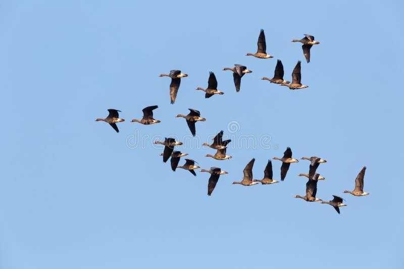 Het wilde ganzen vliegen stock foto's