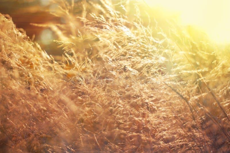 Het wilde gebied van gras op zonsondergang, zachte zonstralen, het warme stemmen, lens flakkert, ondiepe DOF De zonnige weide van stock afbeeldingen