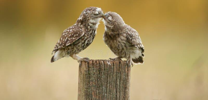 Het wilde kleine uilen kussen stock afbeelding