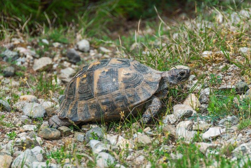 Het wilde schildpad lopen stock afbeelding