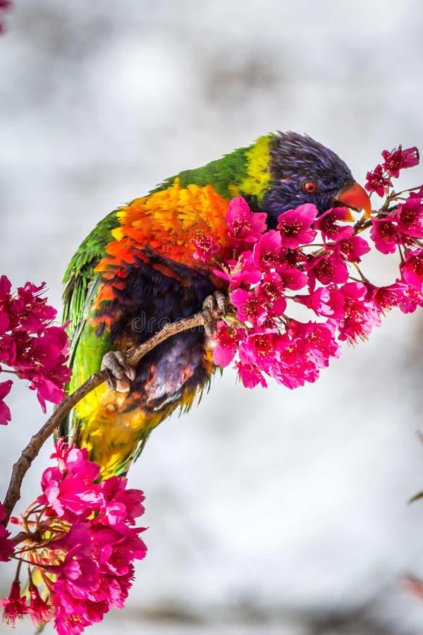 Het wilde voeden van Regenbooglorikeet op Cherry Blossoms Melbourne, Victoria, Australië, September 2016 royalty-vrije stock afbeeldingen