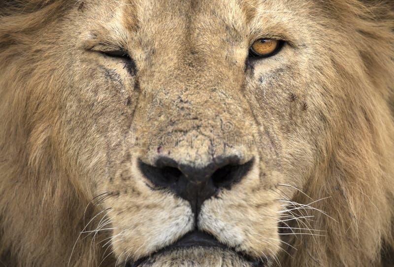 Het wilde vrije leeuwportret liggen royalty-vrije stock fotografie