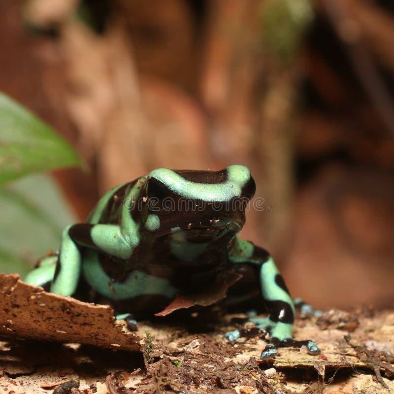 Het wildfoto van Groene en Zwarte pijltje-Vergift Kikker stock afbeelding