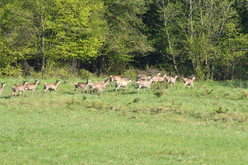 Het wildherten op de weide stock foto
