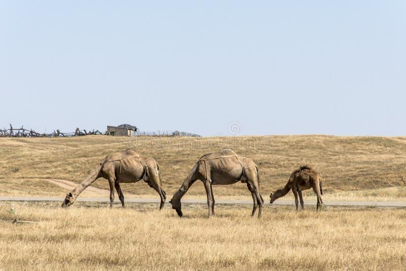Het wildkameel die landschap Oman salalah Arabisch 5 eten stock fotografie