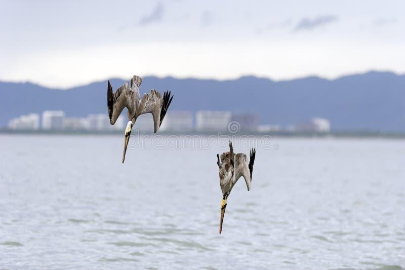 Het wildpelikanen het duiken royalty-vrije stock afbeelding